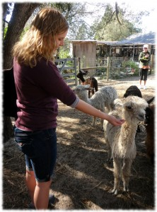 Visiting on of the local alpaca farms on the day before Christmas.