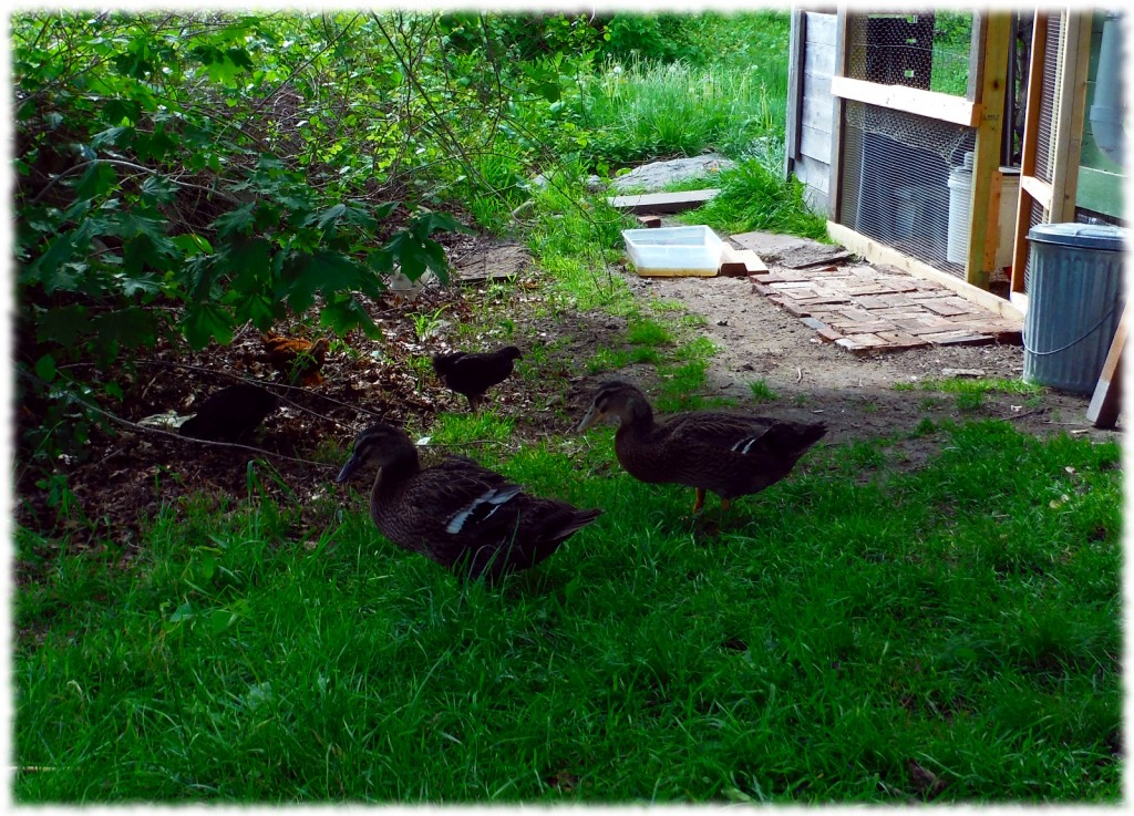 The chickens and ducks enjoying their time out of the coop on a beautiful spring day.